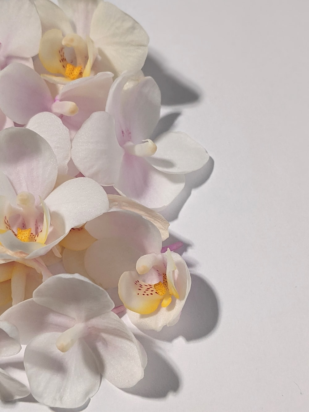 white and pink moth orchids in bloom