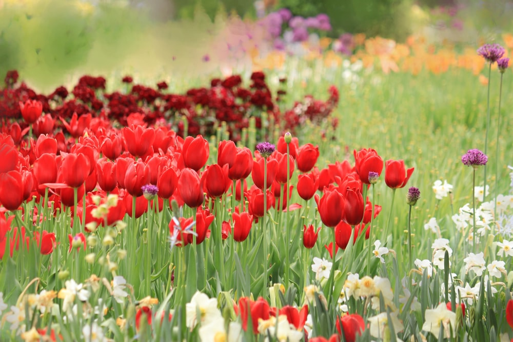 red and white tulips field during daytime