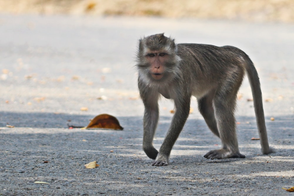 brown monkey on gray concrete road during daytime