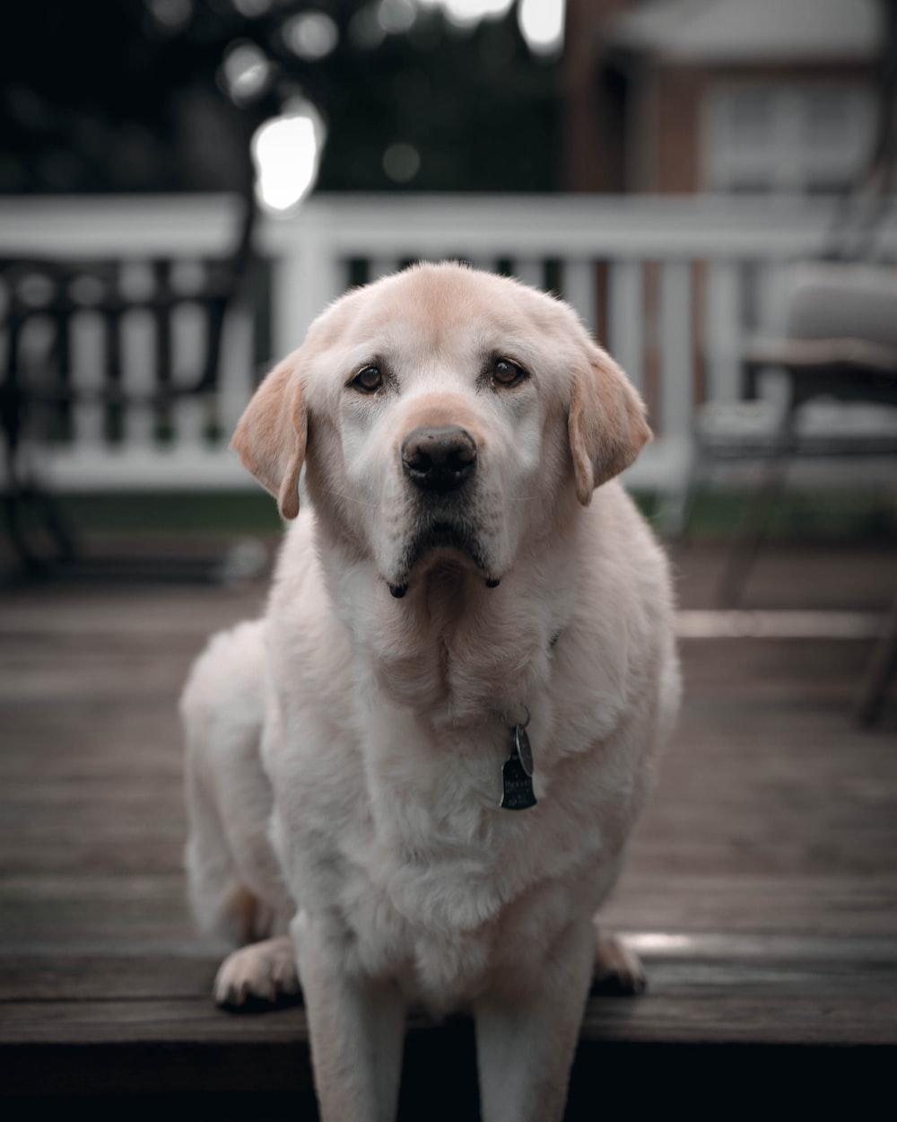 yellow labrador retriever puppy on brown wooden floor