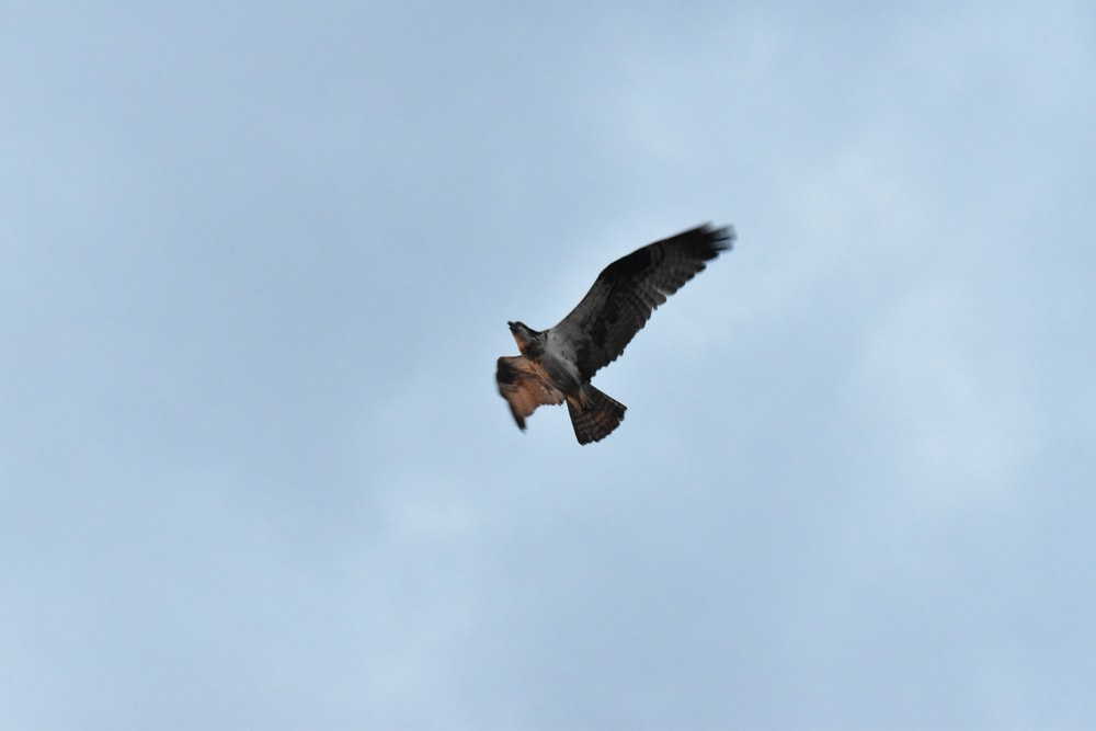 brown and black bird flying under white clouds during daytime