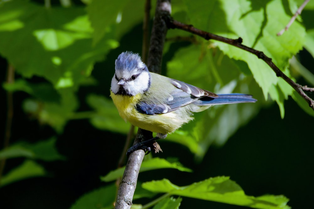 blue and yellow bird on brown tree branch