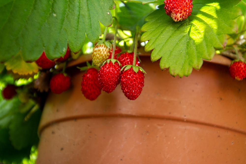 red strawberries on brown clay pot