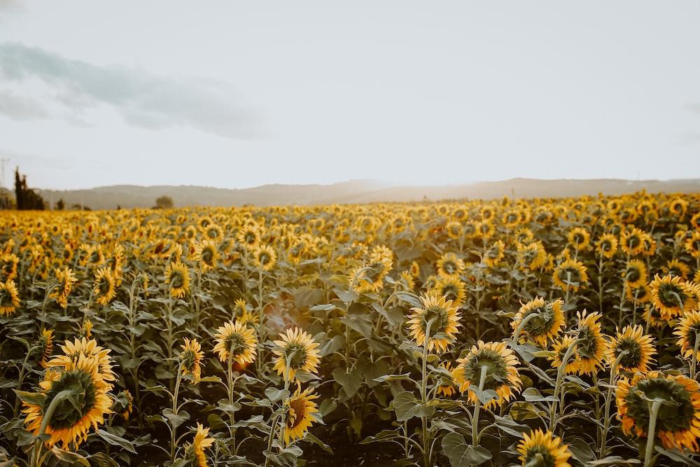 yellow sunflower field during daytime