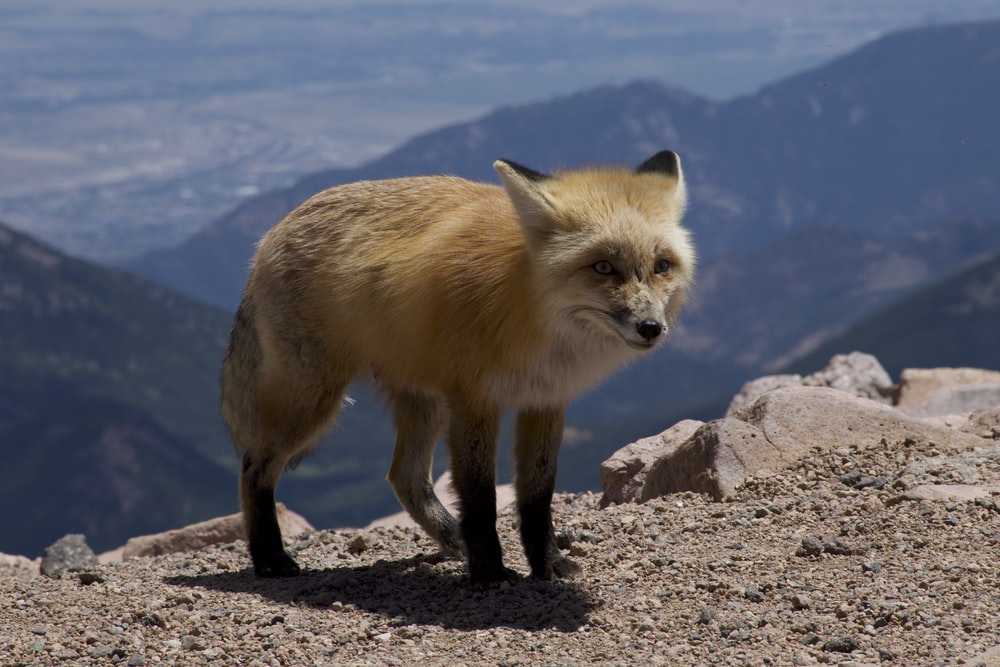 brown fox on gray rock during daytime