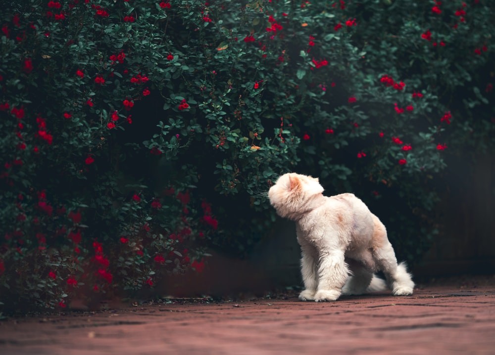 white poodle puppy on brown dirt road