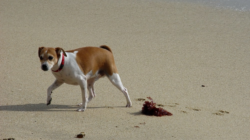 brown and white short coated dog on brown sand