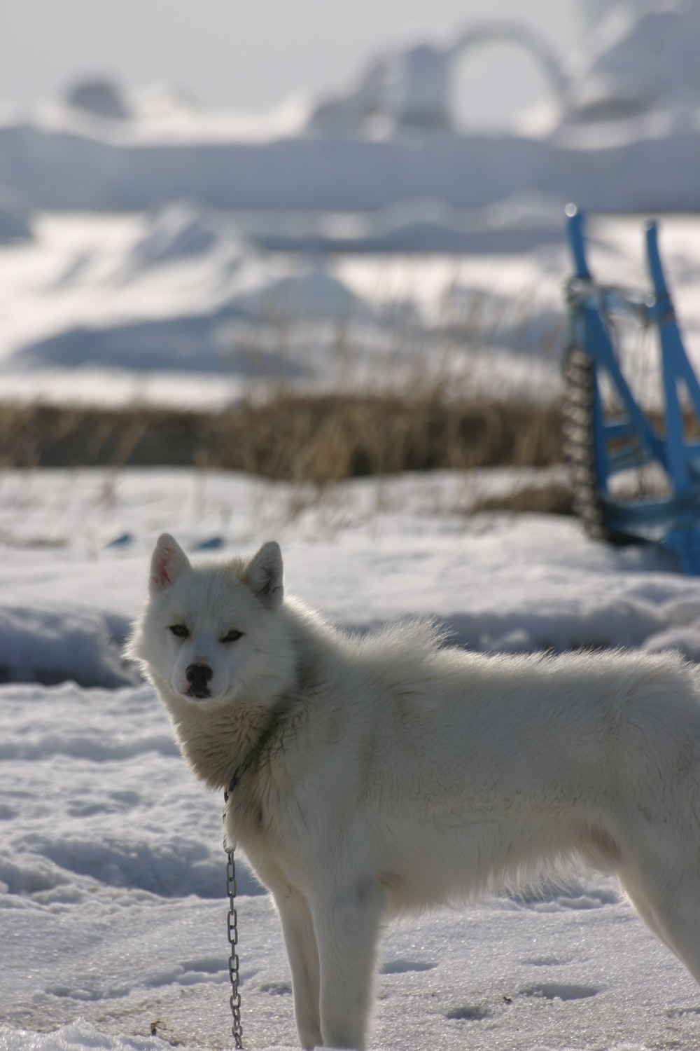 white wolf on snow covered ground during daytime