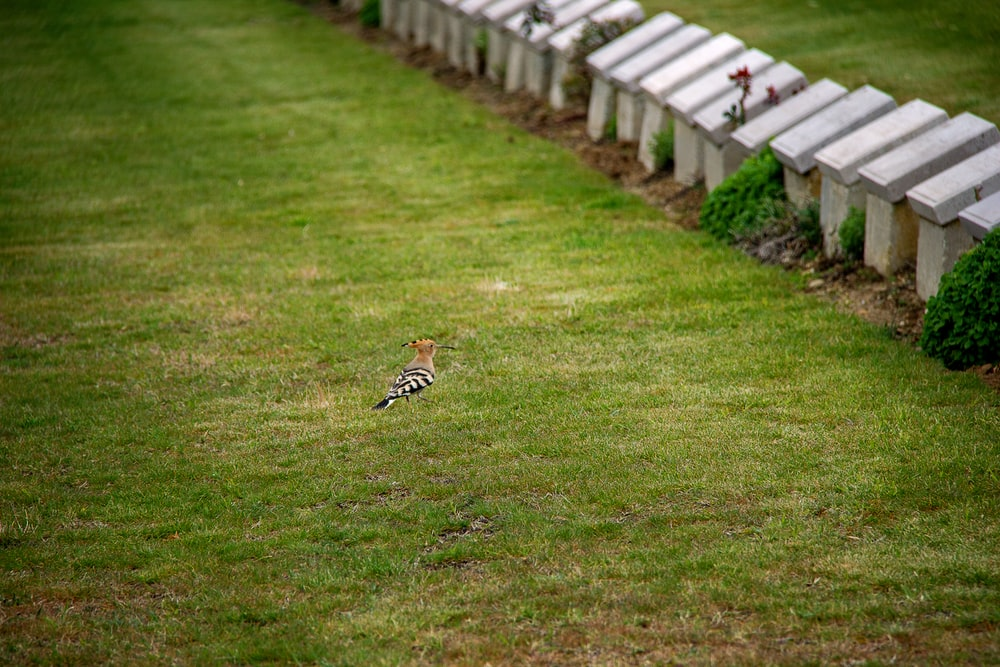 white and brown bird on green grass field during daytime