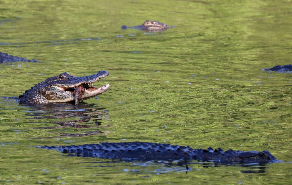 black crocodile on green water