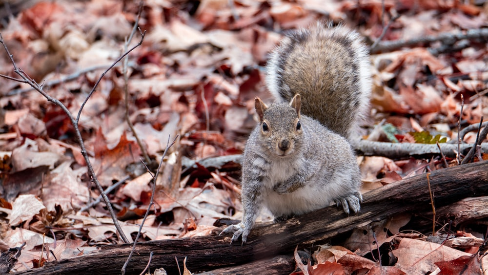 gray squirrel on brown wooden log surrounded by dried leaves