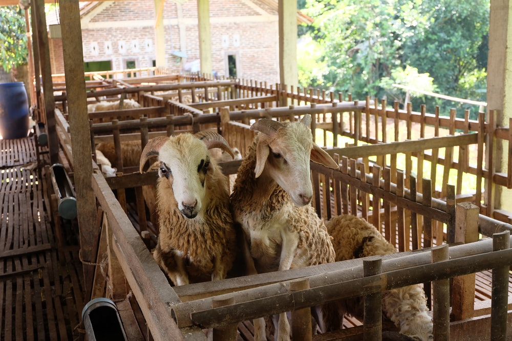 three sheep on brown wooden cage