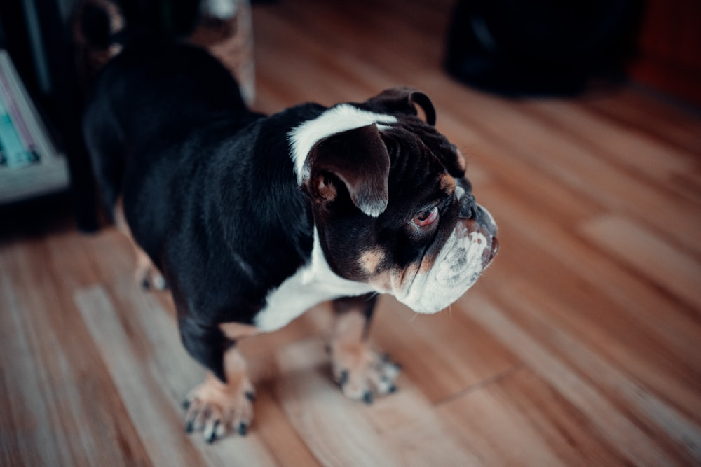 black and white short coated small dog on brown wooden floor