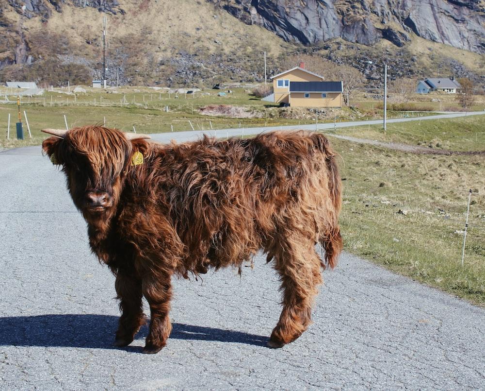brown yak on gray asphalt road during daytime