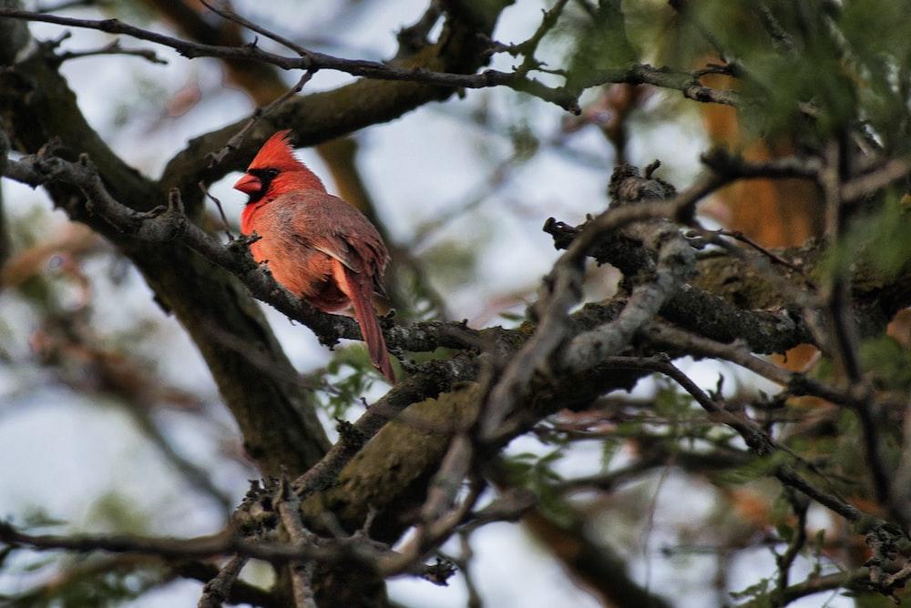 red cardinal bird on brown tree branch during daytime