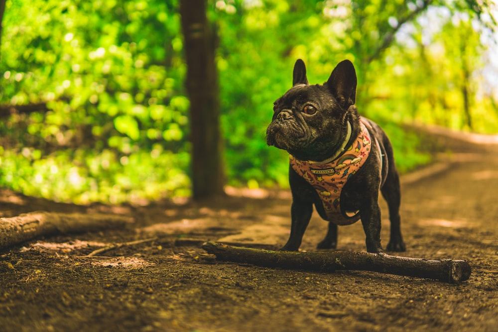 black pug on brown dirt road during daytime