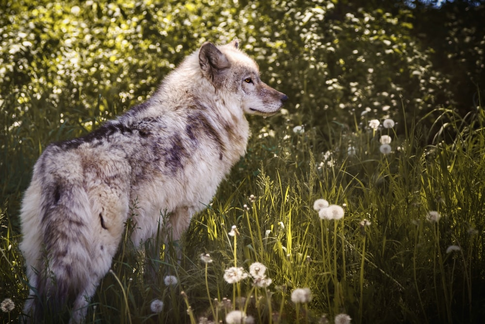white and black wolf on green grass during daytime