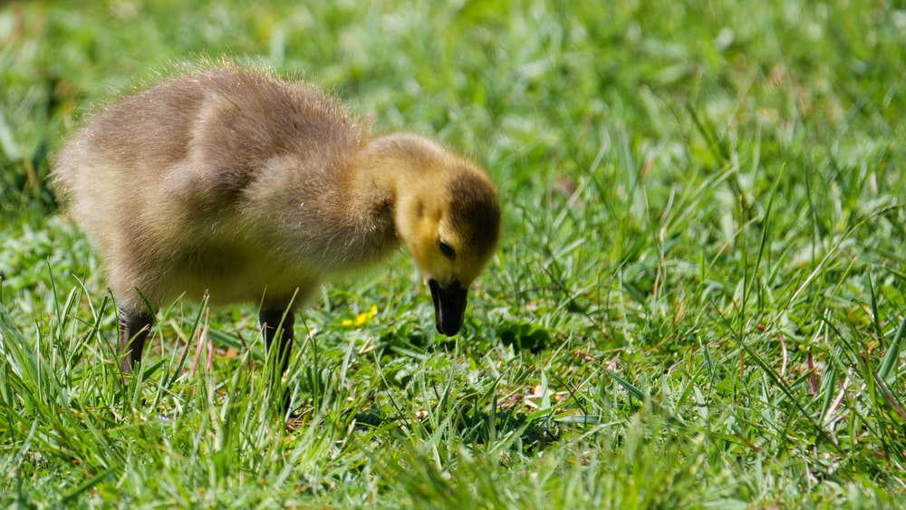 brown duckling on green grass during daytime