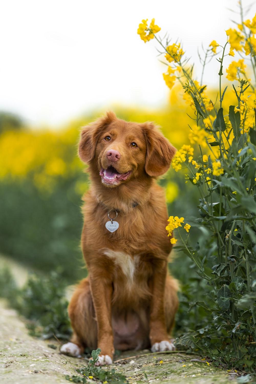 golden retriever sitting on green grass field during daytime