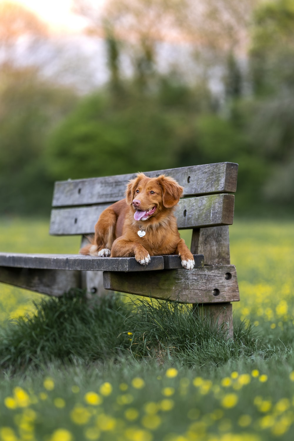 brown short coated dog on brown wooden bench during daytime
