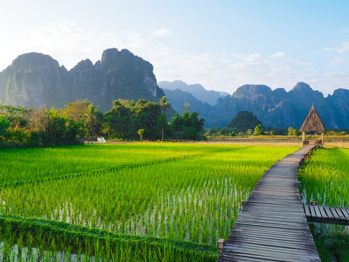 green rice plant