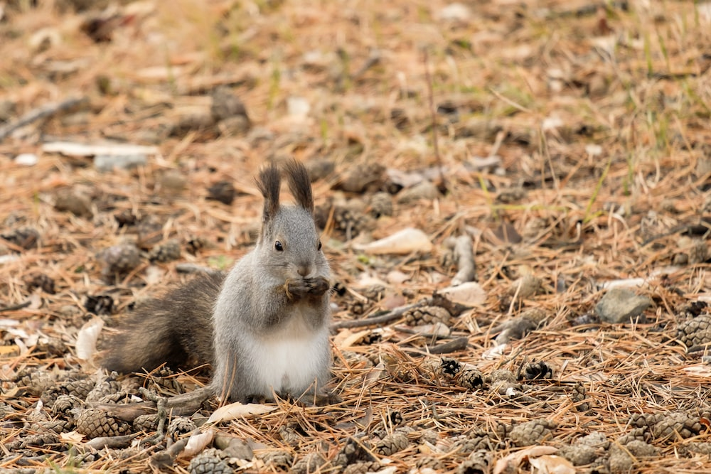 gray squirrel on brown dried leaves during daytime