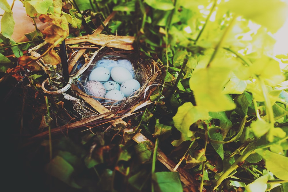 white and blue egg on brown nest