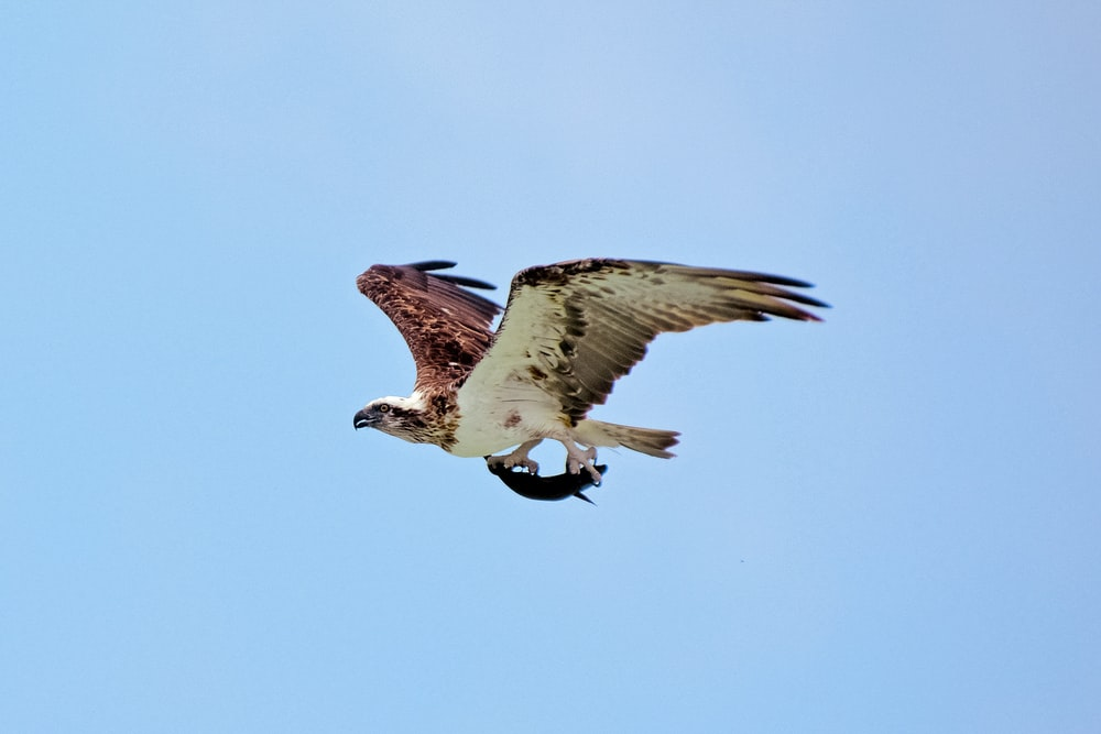 white and brown eagle flying during daytime