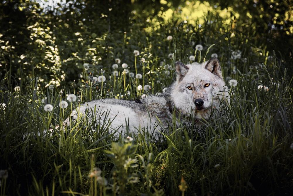 white wolf on green grass during daytime