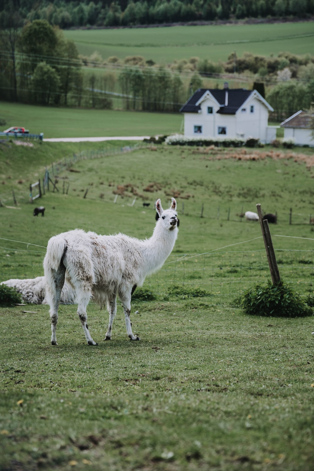 white llama on green grass field during daytime