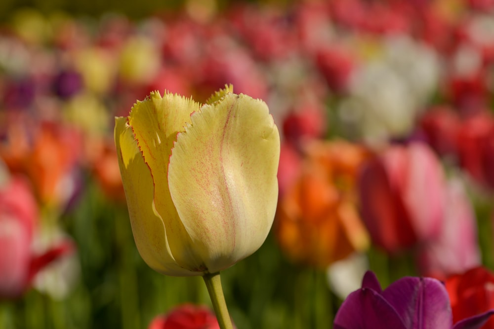 yellow and red tulip in bloom during daytime