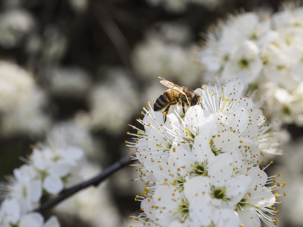 bee on white flower during daytime