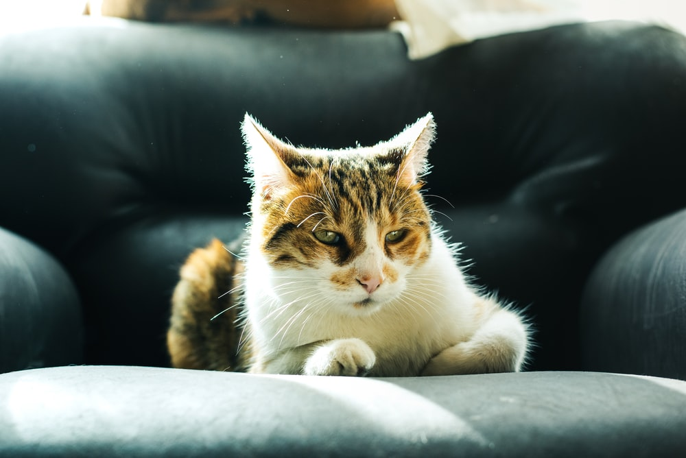white and brown cat on black leather couch