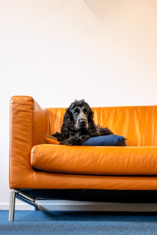 black and white long coated dog lying on orange couch