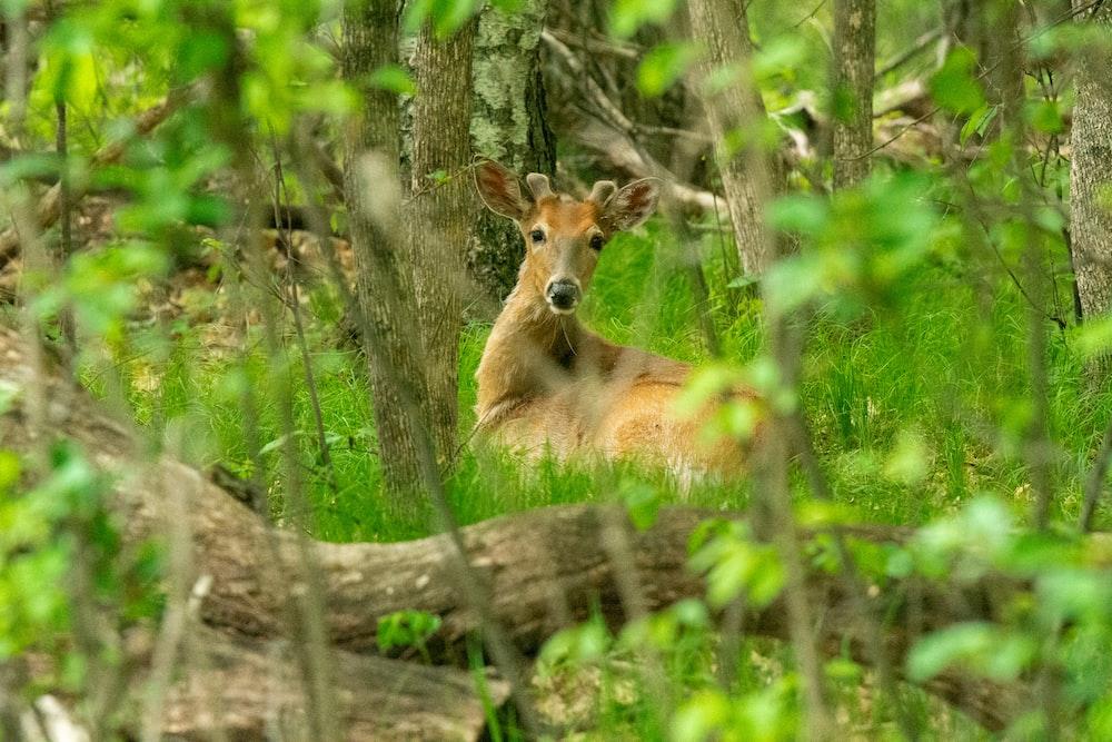 brown deer lying on brown wooden log during daytime