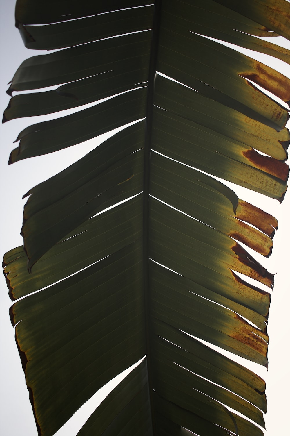 brown and black feather on white background