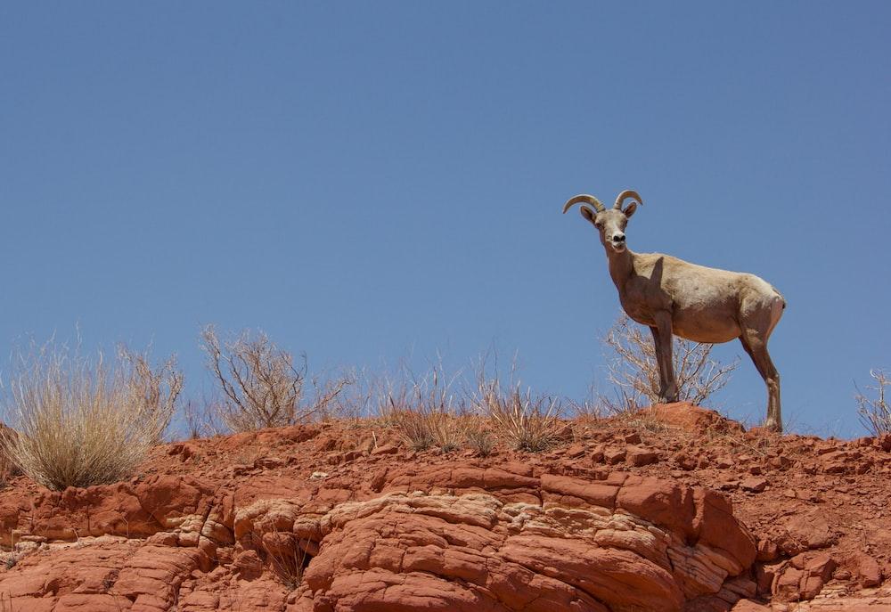 brown ram on brown rock under blue sky during daytime