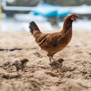 brown hen on brown sand during daytime