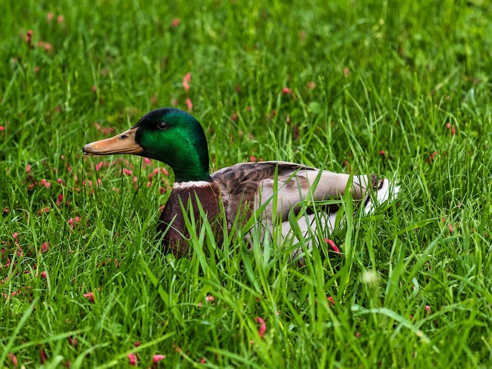 green and brown mallard duck on green grass field during daytime