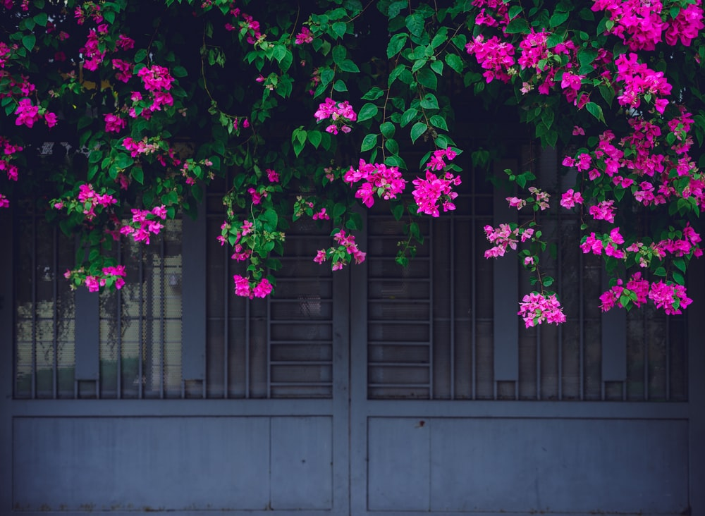 pink flowers on gray wall