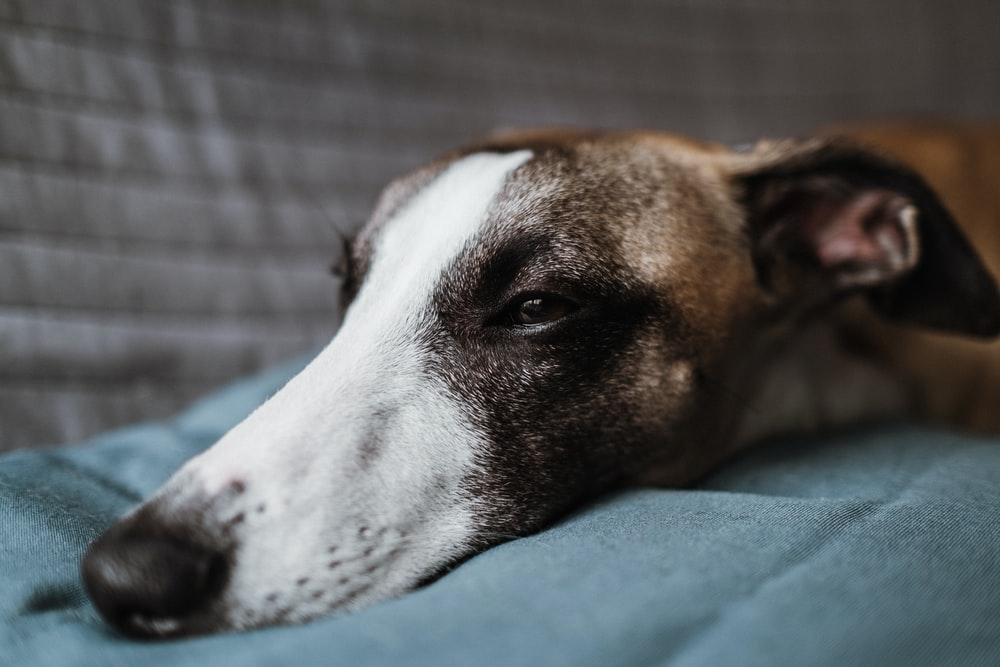 brown and white short coated dog lying on green textile