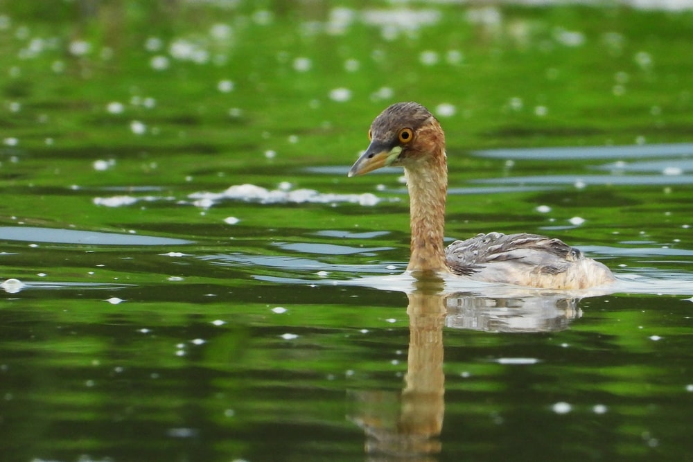 grey duck on water during daytime