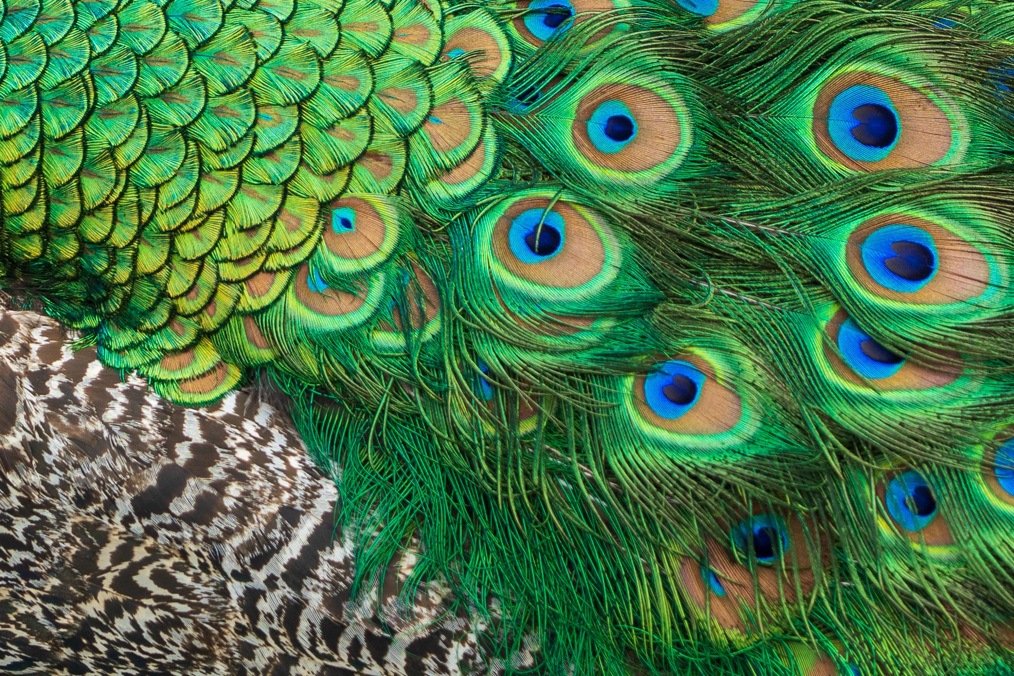 A close up of the three different types of feather seen on a peacock.