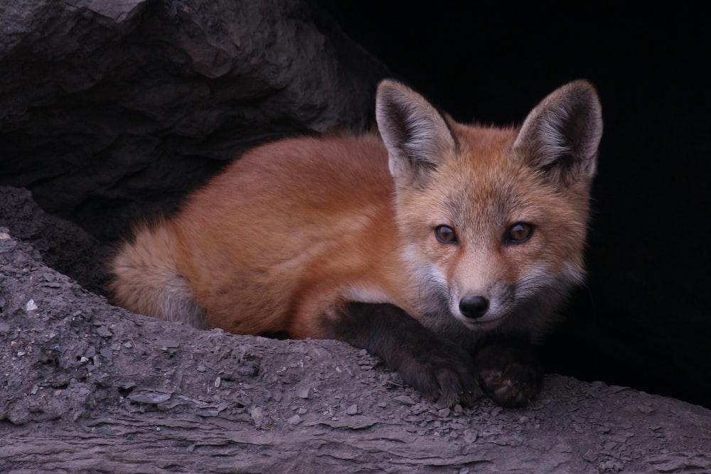 brown fox lying on gray rock