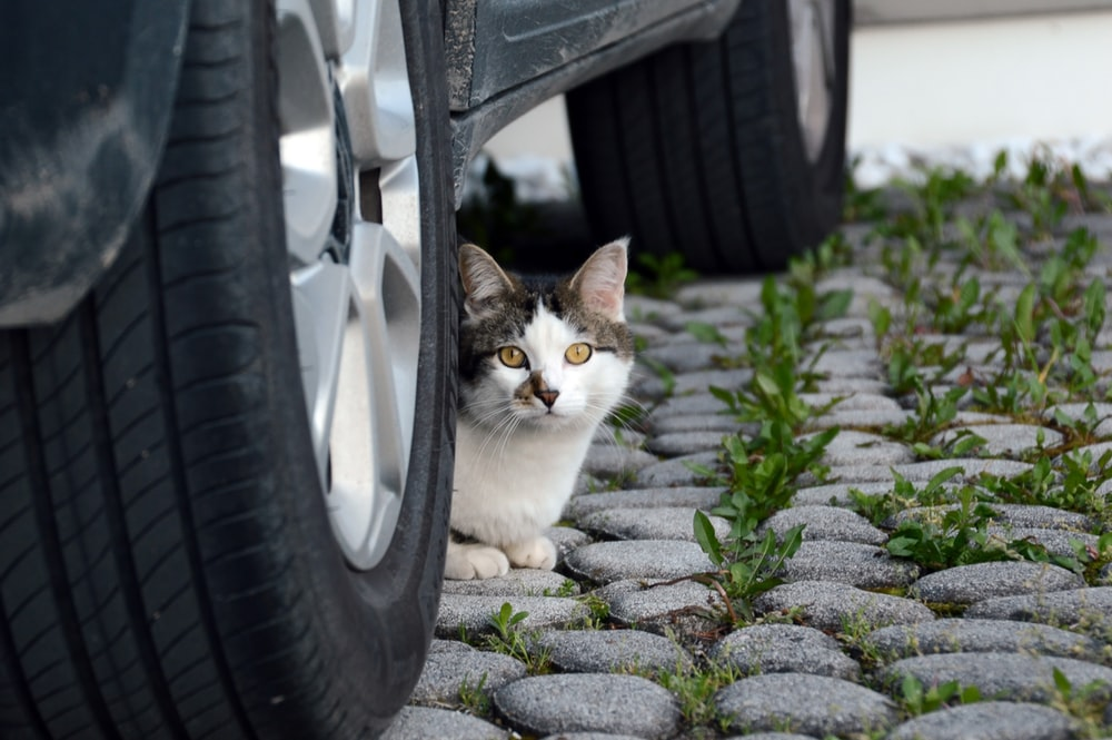 white and black cat on car wheel