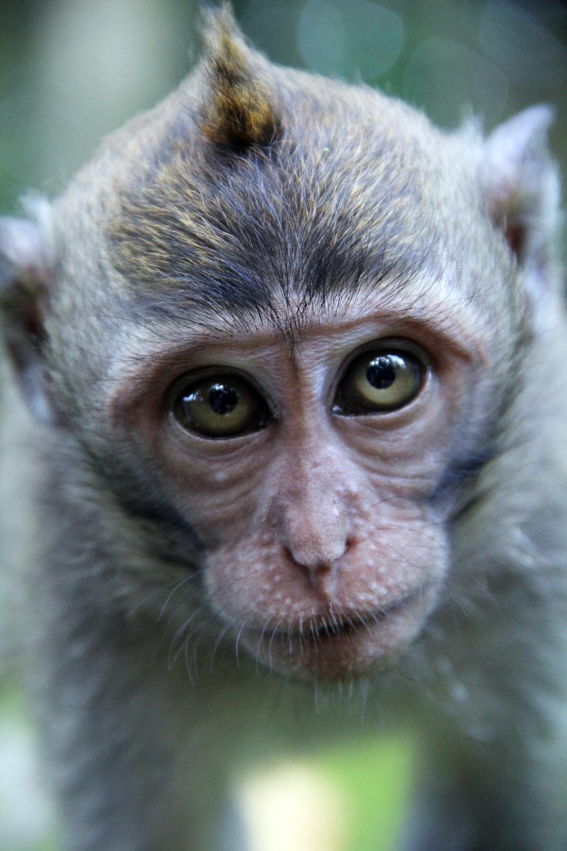 close up photo of monkeys face