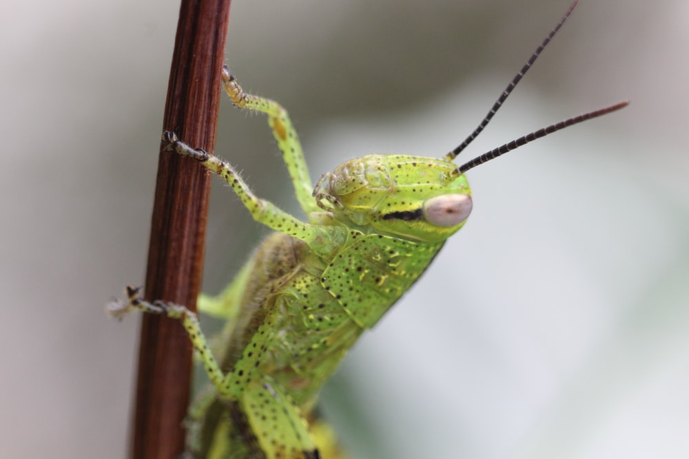 green grasshopper perched on brown stem in close up photography during daytime