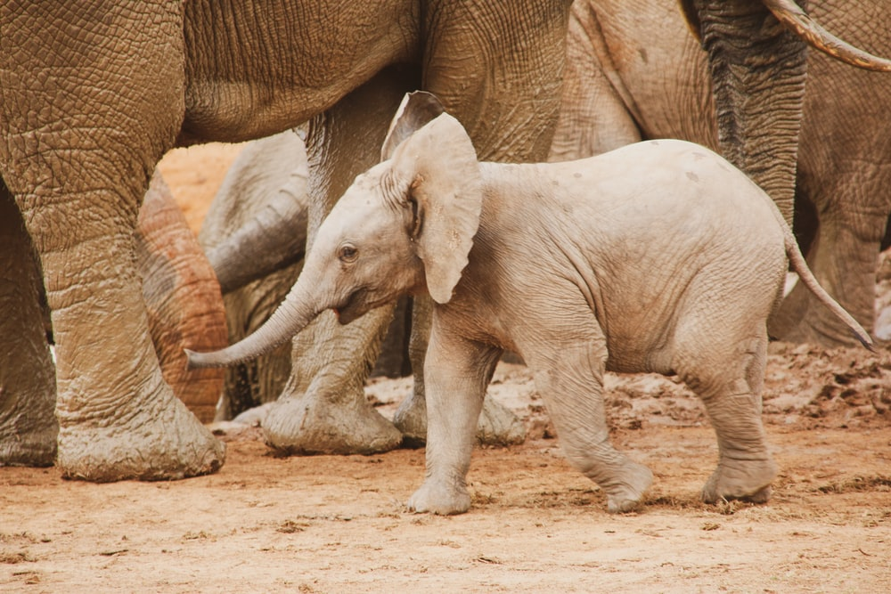 2 gray elephants walking on brown sand during daytime