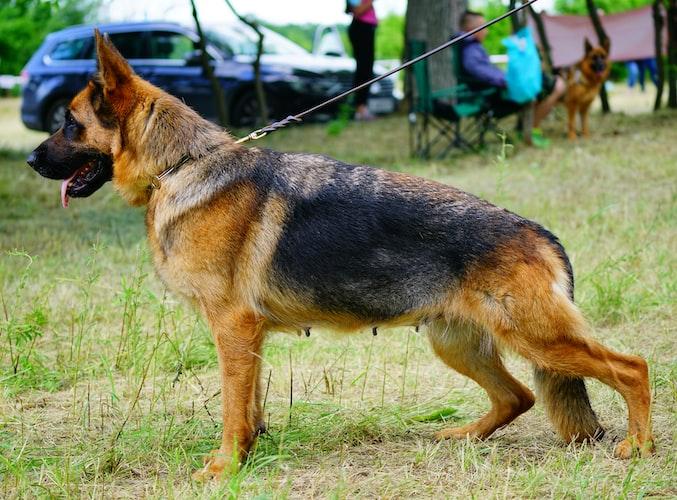 german shepherd appearance