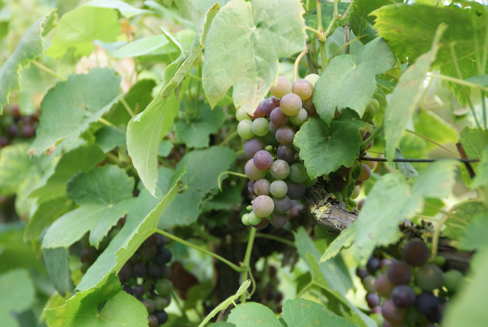 green and purple grapes during daytime